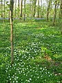A Carpet of Wood Anemones - geograph.org.uk - 421755.jpg