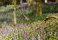 A Chiltern Beechwood in Spring (6198994586).jpg