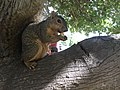 A Squirrel in the tree.jpg