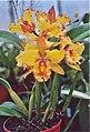 A and B Larsen orchids - Brassolaeliocattleya Melinda Wheeler Halcyon 962-13.jpg