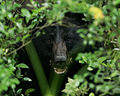 A bear in the bushes ursus americanus.jpg