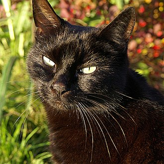 Black cat - Close up of a black domestic cat