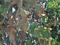 A blooming cactus in Beersheba Israel IMG 8185.JPG
