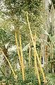 A mighty bamboo. Rabat exotic gardens. April 1972 (37498140390).jpg