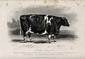 A short horned cow. Etching by E. Hacker, ca 1850, after W.H Wellcome V0021623.jpg