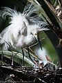 A snowy egret and its hatchlings.jpg