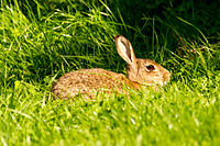 A wild rabbit sitting in the grass.jpg