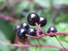 черемуха ягода фото
