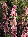 Ab plant 1529.jpg