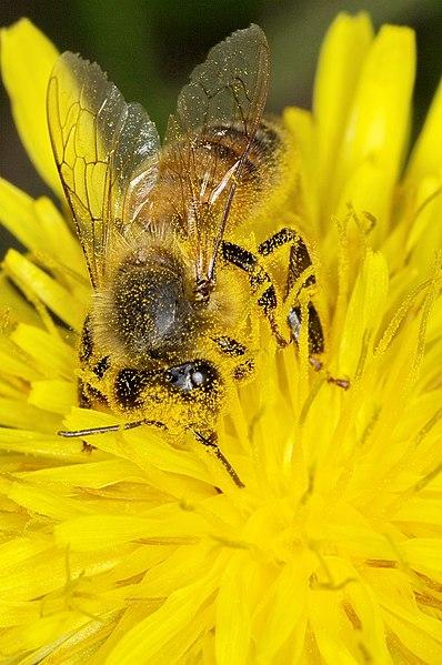 File:Abeille Bee (4521420162).jpg