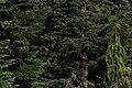 Abies procera 3146.JPG