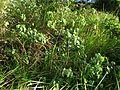 Abutilon menziesii (4797701093).jpg