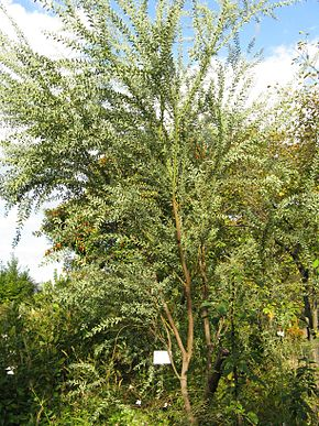 Description de l'image Acacia cultriformis3.jpg.