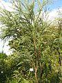 Acacia cultriformis3.jpg