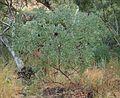 Acacia eleacantha.jpg
