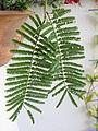 Acacia sieberiana foliage IMG 8127.JPG