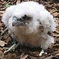 Acadia National Park, peregrine falcon chick.jpg
