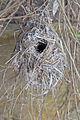 Acanthiza pusilla nest - Austin's Ferry.jpg