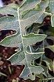 Acanthus hungaricus 0zz.jpg