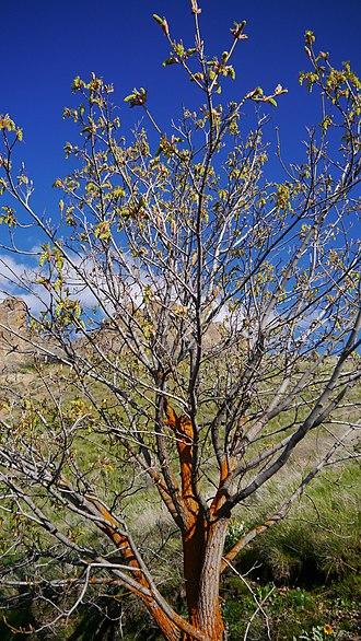 Acer macrophyllum - Image: Acer macrophyllum 1