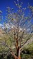 Acer macrophyllum 1.jpg