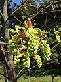 Acer macrophyllum kz04.jpg