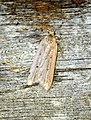 Acompsia tripunctella (28793504386).jpg