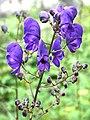 Aconitum napellus JPG1b.jpg