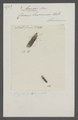 Acopsis - Print - Iconographia Zoologica - Special Collections University of Amsterdam - UBAINV0274 042 06 0011.tif