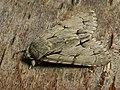 Acronicta tridens - Dark dagger - Стрельчатка трезубец (40161157665).jpg