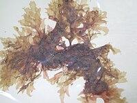 Acrosorium uncinatum.JPG