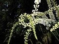 Actaea racemosa 2015-07-15 4400.JPG