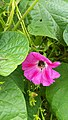 Addome di ape sporco di polline di Convolvolo - Abdomen of dirty bee with bindweed pollen.jpg