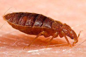 Adult bed bug, Cimex lectularius