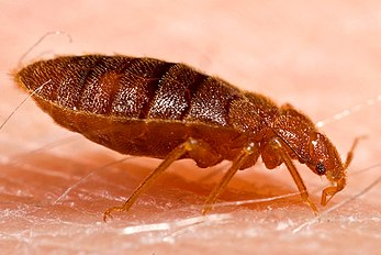 Adult bed bug, Cimex lectularius.jpg