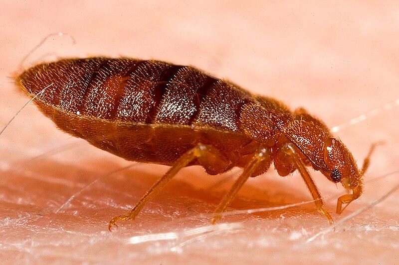 File:Adult bed bug, Cimex lectularius.jpg