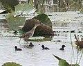 Aenigmatolimnas marginalis, haan en kuikens, Kgomo-kgomo-vleiland, Birding Weto, b.jpg