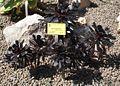 Aeonium arboreum.JPG