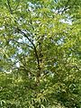 Aesculus glabra var arguta Aesculus arguta BotGardBln07122011H.JPG