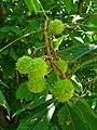 Aesculus hippocastanum 003.JPG