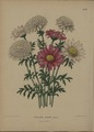 Afbeelding-049-Chrysanthemum coccineum-Pyrethrum Roseum.tif