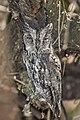 African-scops owl (Otus senegalensis) male.jpg