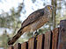 African Goshawk - Photo (c) Dick Daniels, some rights reserved (CC BY-SA)