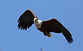African fish eagle, Haliaeetus vocifer, at Lake Chivero, Harare, Zimbabwe (21908277406).jpg