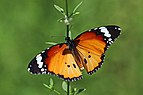 African monarch (Danaus chrysippus orientis).jpg