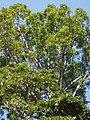 Agathis robusta (F.Muell.) F.M.Bailey (AM AK297417-4).jpg