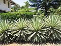 Agave angustifolia marginata.jpg