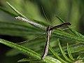 Agdistis adactyla - Пальцекрылка цельнокрылая (39381326550).jpg