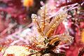 Aglaophenia struthionides 2.jpg