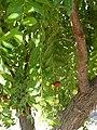 Alb-Z. jujuba-fruit-9.jpg